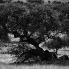 The Holm Oak Tree